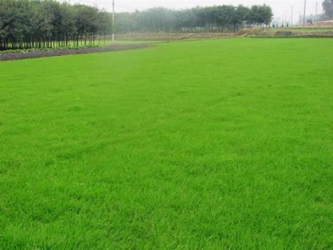 混播黑麦草草坪