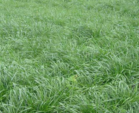 混播黑麦草