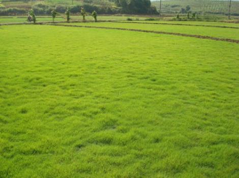 马尼拉草坪批发