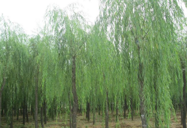 垂柳树价格