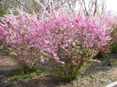 榆叶梅又小红花