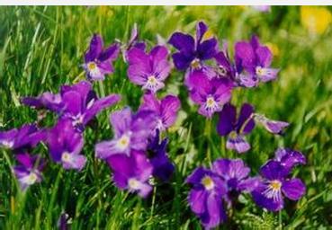 紫罗兰盆栽